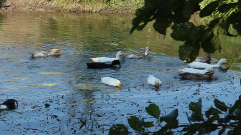 flight of domestic geese swimming on river. Domestic birds Live Action
