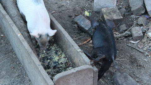 Little piglets eat from trough and jolly run on farm yard Live Action