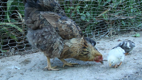 Chicken with chicks pecking grain in poultry. Hen with chickens. Domestic birds Live Action