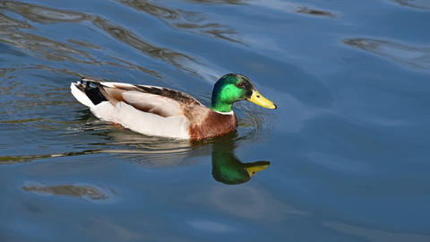Mallard duck swimming over ripples on water Animation