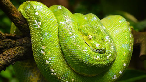 Green tree python profile portrait close up Animation