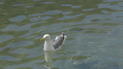 Seagull with white and light grey feathers floating on waves and shaking head Archivo