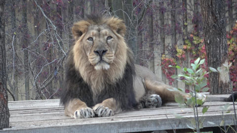 Asiatic lion (Panthera leo persica) threatened species Live Action