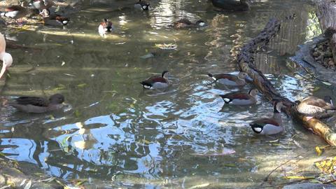 Waterfowl birds. Many ducks. Wild ducks Footage