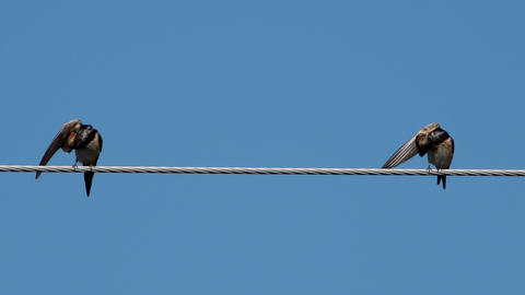 Two swallows over high power cable cleaning themselves Live Action