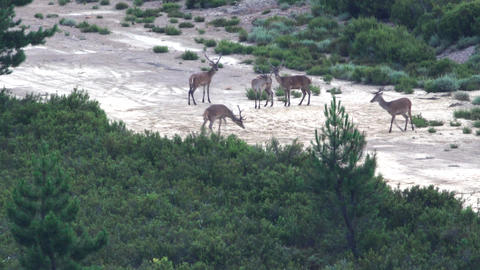 Group of male deers playing and jumping in the firebreak Footage