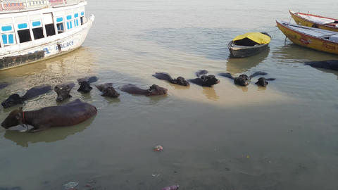 Water Buffaloes in Varanasi inside the Ganges River GIF