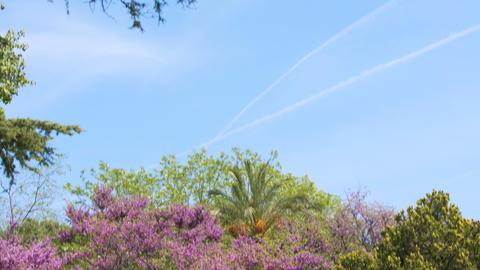 Botanical garden of Nice, panorama of amazing tree with violet flowers, nature Footage