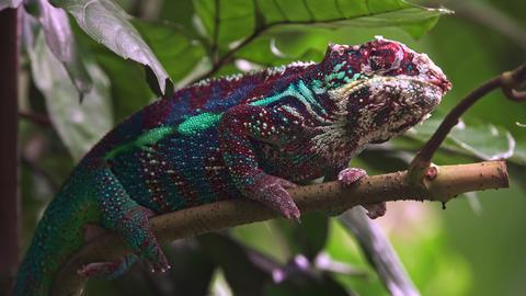 Camouflaged blue red white Chameleon (Chamaeleonidae) Footage