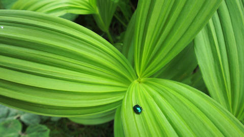 Glitter green bug on a lush green plant which is symmetrical and pleasant to see Live Action