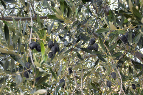 Olive tree with large berries Photo