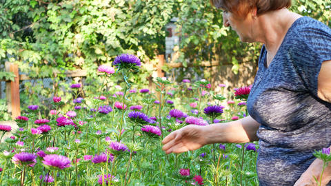 Florist woman is pruning violet and pink asters in garden Footage