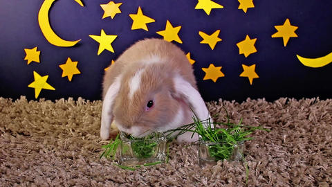 Animals at night resting cute pet pets animal concept rabbit cavy Live Action