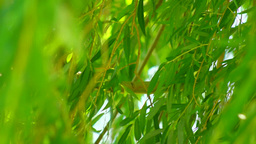 Tree Leaves And Branches In The Wind stock footage