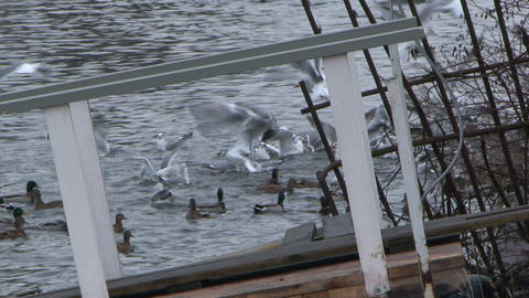 Gulls fly above a river Stock Video Footage