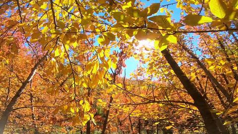 Beautiful Autumn trees ビデオ