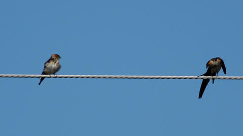 Two swallows over high power cable stretching Live Action