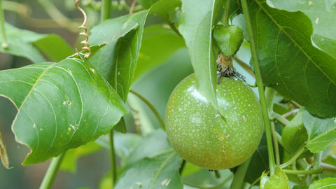 Close up shot fresh nature unripe passion fruit high vitamin nutrition Live Action