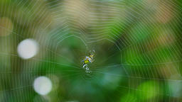 Spider (Hosselt's Spiny Spider) Building a web in forest, Thailand Live Action