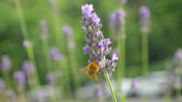 Bumblebee on Purple Lavender Flowers Live Action