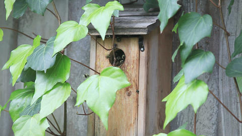 Bumblebees nesting in birdhouse Footage