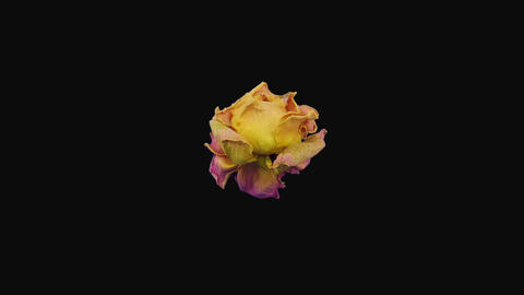 Time-lapse of dying Miss Piggy rose in RGB + ALPHA matte format, top view Footage