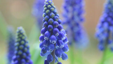 Grape hyacinths closeup Footage