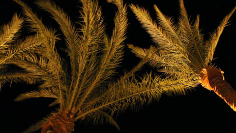 View to top of date palms from bottom at night. Date palm branches illuminated Live Action