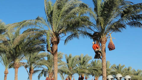 Men are harvesting dates on palm trees. Farmers harvest…, Live Action