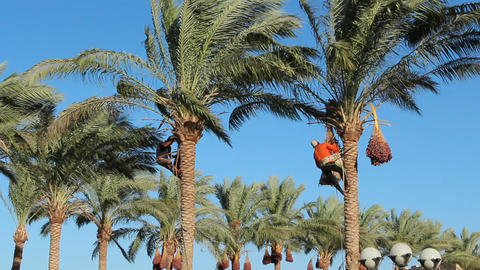 Men are harvesting dates on palm trees. Farmers harvest ripe dates from date Live Action