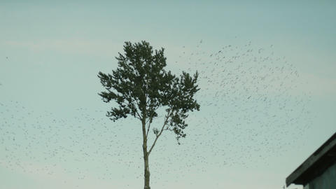 A large flock of birds takes off from a lonely standing tree in slow motion Footage