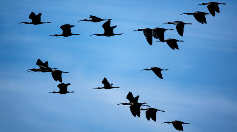 Glossy ibis group flying against blue sky Photo