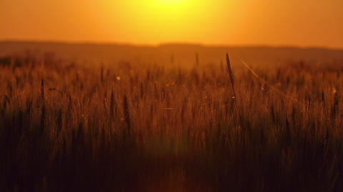 Spider and cobweb on the ears of wheat at sunset Footage