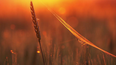 Spider and cobweb on wheat close-up at sunset Footage