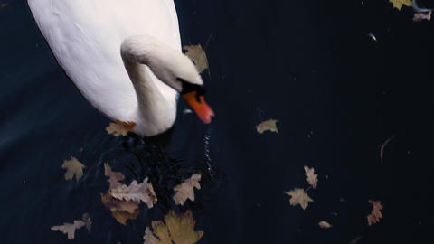 White swan close-up on a pond Footage