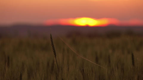 Spider and cobweb on wheat close-up at sunset Stock Video Footage