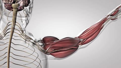 muscle and nervous system in the arm Live Action