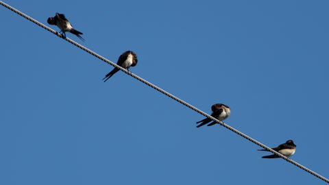 Four swallows over high power cable cleaning themselves Footage