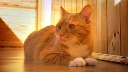 Relaxed peaceful home cat is lying on the balcony indoor in sunshines, sniffing Footage