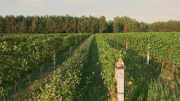 Rows grapes ready to be picked in vineyard at sunset ビデオ