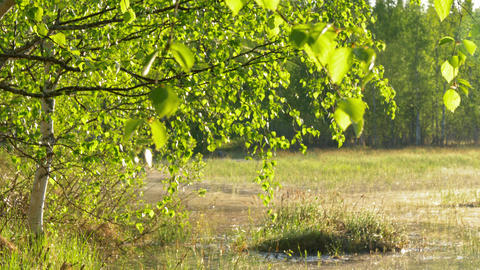 Green birch leaves hanging over flood meadow Live Action