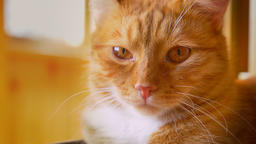 Close-up pretty face of ginger cat in sunlights, lying and looking at camera Footage