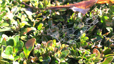 Dew drops on gossamer at bush leaves in sunlight in autumn park Footage