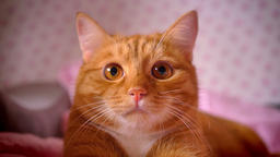 Close-up shooting of red home kitty looking calmly and lying on red bed chill Footage