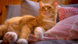 Enjoyable sleepy kitty with ginger fluffy fur is lying on red pillow at home Footage