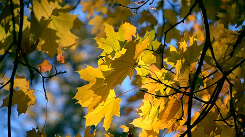 Yellow leaf on a branch on background of blurred yellow leaves close-up Footage