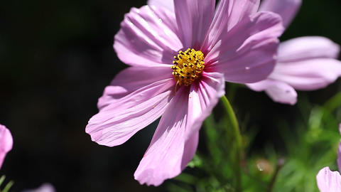 Cosmos flower with copy space Footage