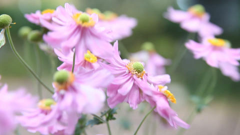 Pink Japanese anemones on breezy day Footage