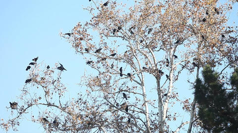 Many crows vocalize in a tree Footage