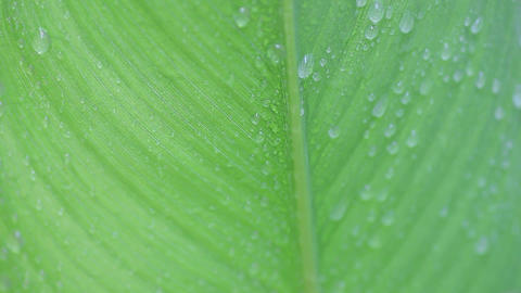 Water drips off tropical leaf Footage